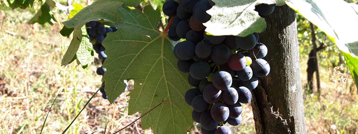 L'uva (croatina) nell' agosto 2017