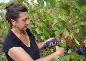 Vendemmia nelle vecchie vigne