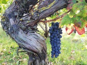 La bonarda delle vecchie vigne