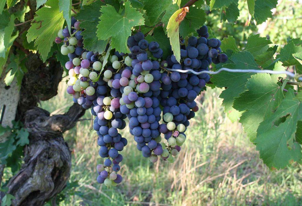 Croatina di vecchie vigne